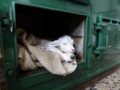 Here is a very new use for the warming oven on an AGA range. Warming a new-born lamb or a spoiled pet l. Farm Animals, Cute Animals, Aga Stove, Aga Range, Aga Cooker, Newborn Kittens, Sheep And Lamb, Sheep Farm, Country Life