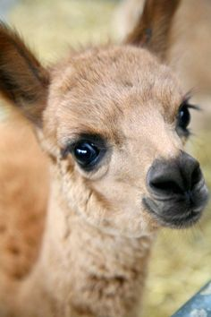 One of three baby alpacas that has arrived over the last month :-)