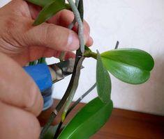 Размножение орхидеи фаленопсис детками Watering Globe, Plants, Watering
