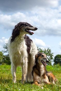 """Portrait of two borzois ~ The borzoi (/ˈbɔrzɔɪ/, literally """"fast""""), also called the Russian wolfhound (Russian: Ру́сская псовая борзая) Descended from dogs brought to Russia from central Asian countries, it is similar in shape to a greyhound, and is also a member of the sighthound family. #borzoi #dogs #Russian"""