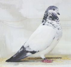 Tippler fancy pigeon by Jim Gifford. Known for the bird's high flying & long endurance. High Flying Pigeons, Cute Pigeon, Pigeon Pictures, Pigeon Breeds, Homing Pigeons, Beautiful Birds, Pretty Birds, All Birds, Bird Feathers