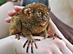 Tarsiers! Cool facts about these wonderfully weird primates