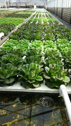 Hydroponic Farming, Aquaponics Greenhouse, Hydroponics System, Aquaponics System, Aquaponics Plants, Plant Growth, Urban Farming, Cool Plants, Growing Plants