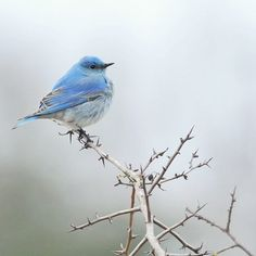 Blue Bird sitting in the tree...