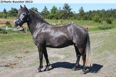 Estonian Native / Klepper - mare Rannapoiss
