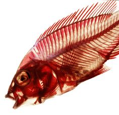 A stained cichlid skeleton.