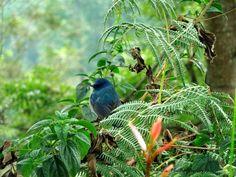 Nilgiri flycatcher (Eumyias albicaudatus). The 'Jewel of Nilgiris'. Near Threatened. Endemic to Western Ghats. - at Kaikatty, Nilgiris.