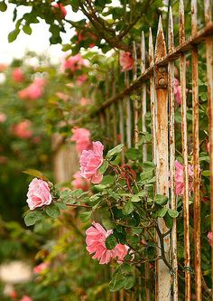 Lovely, rusty & peeling, Iron Gate with pretty, climbing Pink Roses ~ makes a beautiful statement, just about anywhere~❥