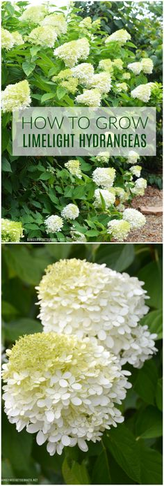 Plant this easy to grow, low maintenance shrub in your garden and enjoy beautiful cut and dried flowers too!   ©homeiswheretheboatis.net #summer #garden #hydrangea