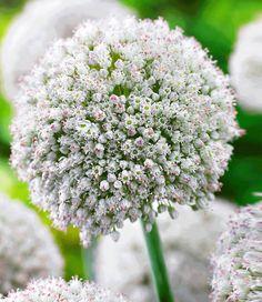 Allium 'White Cloud'