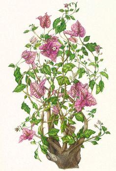 Bougainvilla glabra Botanical illustrations by Milly Acharya