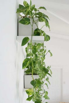 Pothos vertical - living wall inspiration