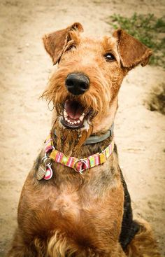 Hi, oh the grossness of an Airedales beard