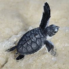 44 Ideas For Painting Ocean Animals Sea Turtles Baby Sea Turtles, Cute Turtles, Tiny Turtle, Turtle Love, Cute Tortoise, Marine Biology, Tier Fotos, Tortoises, Cute Baby Animals
