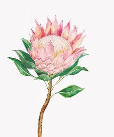 Illustrated King Protea Print by LanasShop on Etsy Flor Protea, Protea Art, Botanical Wedding, Botanical Flowers, Botanical Prints, Watercolor Pictures, Watercolor Flowers, Watercolor Paintings, Botanical Line Drawing