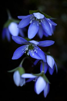 Hepatica | Flickr - Photo Sharing!