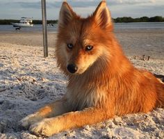 """This dog is just insanely good looking. First of all, just look at Mya. Her beauty is truly ethereal. Those eyes! That coat! Mya is a Pomsky and her internet fame first came about when a pic of her popped up on Reddit with the description: """"The result of breeding a husky and a pomeranian."""" Who knew such different breeds would yield such adorable results?"""