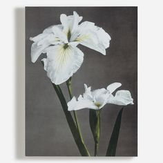 Collotype photograph from the album entitled Japanese Flowers by Ogawa Kazuma, Japan, late century. Our wall murals bring stunning imagery to life on a large scale. Canvas Art Prints, Canvas Wall Art, Wall Art Wallpaper, Japanese Flowers, Japanese Iris, Reproduction, Cool Posters, Botanical Art, Flower Vases