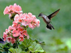 colibri wallpaper - Поиск в Google