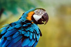 Blue and Yellow Macaw - Blue and Yellow Macaw