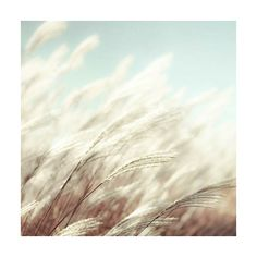 Nature photography, blue white wall decor, tall prairie grass - 5x5... ($15) ❤ liked on Polyvore