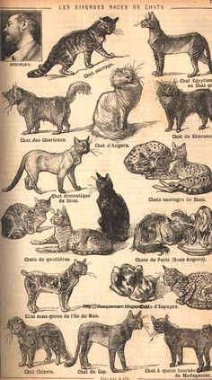 antique French illustration -- diverse cat breeds