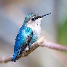 Bee hummingbird, a young male! Cuba 2018.