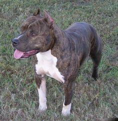 American staffordshire terrier o amstaff