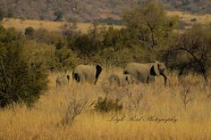 Part of a herd of elephants, these mothers and their calves paused for a moment. Herd Of Elephants, Elephant Family, Kruger National Park, African Elephant, Lonely Planet, Travel Guide, South Africa, Calves, Mothers