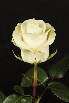 ́  Madrugadas Dulces  FIRST LADY -   71    Eden Roses Ecuador