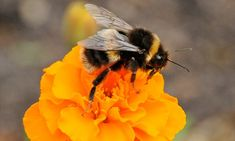 Bees suffer dementia due to aluminum pollution, trying to collect nectar and find their way back to the hive suffering from Alzheimer's.  Aluminum is thought to have a brain damaging effect on humans, and is even used in dental implants.