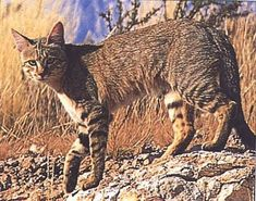 The glorious tabby cat: personality, description, history, coat patterns and myths. Is the tabby cat more intelligent? Ocelot, Small Wild Cats, Big Cats, Pension Pour Chat, African Wild Cat, Rare Cats, Cat Boarding, Domestic Cat, Cat Life