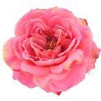 Fresh Picked Dark Pink Sophia Rose