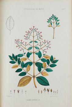 Nouvelles études sur les quinquinas, - Biodiversity Heritage Library