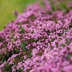 Enjoy the fresh smell of thyme underfoot in your garden. This easy-to-grow ground cover offers fragrant foliage and pink or white flowers in spring or summer. Growing Conditions: Full sun and well-drained soil. Size: To 10 inches tall Zones: Shade Garden, Garden Plants, Herb Garden, White Flowers, Beautiful Flowers, Colorful Flowers, Creeping Phlox, Creeping Thyme, Deer Resistant Plants