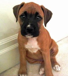 Stella the Boxer Mix-Oh man, those eyes! She could wrap you around her paw!!