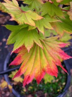 Full Moon Maple (acer shirasawanum aureum).  Golden color if placed in sunny location.  Slow growing.  8' in 10 years.  Spring green.  Summer orange.  Fall red.  Sun/part shade.