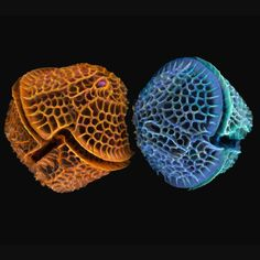 Colourised scanning electron microscope images of diatoms by Dr Paul   Hargreaves and Faye Darling.
