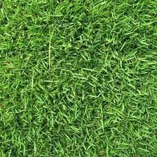 Zenith Zoysia Grass Seed 1 Bulk Pound Zoysia Grass Seed Zoysia Grass Grass Seed