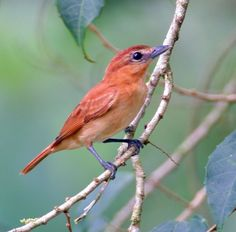 The Cinnamon Becard (Pachyramphus cinnamomeus) is a passerine bird which is a resident breeding species from southeastern Mexico south to northwestern Ecuador and northwestern Venezuela. It was recently found to be far more common on the Amazonian slope of the Colombian Cordillera Oriental than previously believed.