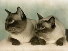 Siamese cats, the apple face look