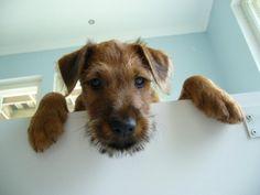 Irish terrier pup