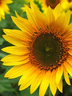 Sunflower beautiful