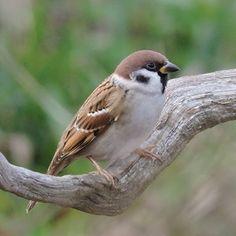Des repères pour identifier les oiseaux nicheurs du jardin et des parcs en France, en Belgique et en Suisse.