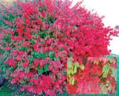 Dwarf Burning Bush Euonymus  A 5-alarm fire! This stunning 4- 6 foot shrub lights up your autumn landscape with blazing leaf color and red-hot berries. Easily grown in almost any soil and climate. Plant in sun or partial shade. #1 field grown, 9-12 inch bareroot plants. Zones: 3-9