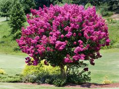 Crape myrtle Its showy flowers make crape myrtle one of the most spectacular plants for the mid- to late-summer garden. Flowers can be white, pink, red or purple. The attractive bark varies from cinnamon red to white, depending on variety. Plant in full sun in well-drained soil. This fast grower typically averages 15 to 25 feet at maturity; shrub forms are also available. USDA Hardiness Zones: (6)7 to 9