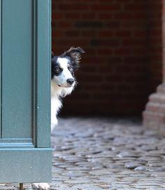 Un Border Collie que se ha desarrollado el hábito de morderlo todo será un perro caro de mantener.