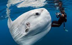 A diver swims with a huge ocean sunfish off the coast of San Diego, California