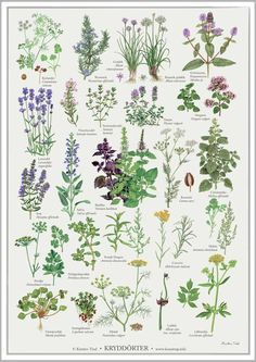 """Krydderurter""-plakat fra Koustrup & Co. Vintage Botanical Prints, Botanical Drawings, Botanical Art, Botanical Illustration, Poster Shop, Nature Posters, Flower Names, Plant Drawing, Foliage Plants"