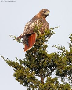 Red-tailed Hawk - there's one that lives around here - see it all the time.